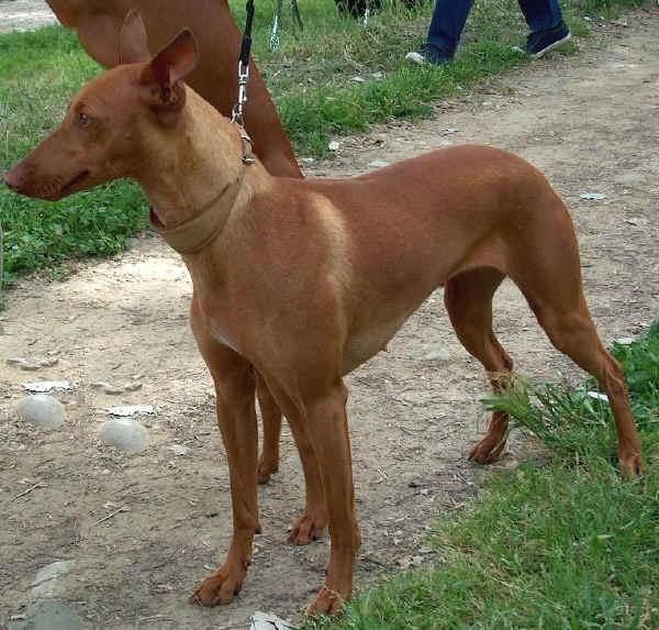 Top Ten Italian Dog Breeds Italy Magazine