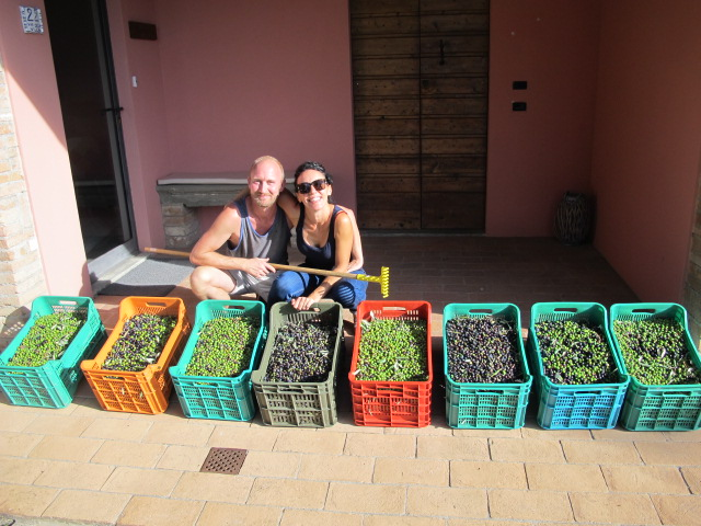Olive harvest at Villa San Michele