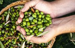 Male hands full of freshly olives