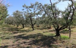 Donoratico, in the Tuscan countryside single house of two apartments with olive grove 45