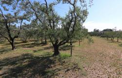 Donoratico, in the Tuscan countryside single house of two apartments with olive grove 47