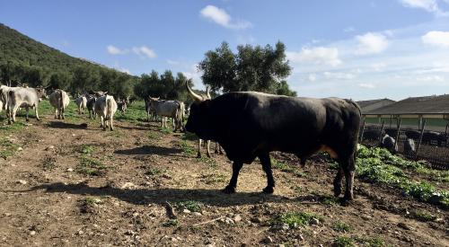 Podolica cows grazing in Gargano National Park in Puglia