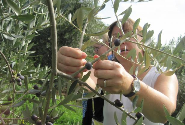 Sapori & Saperi Adventures – Picking olives at Agriturismo Alle Camelie, Tuscany