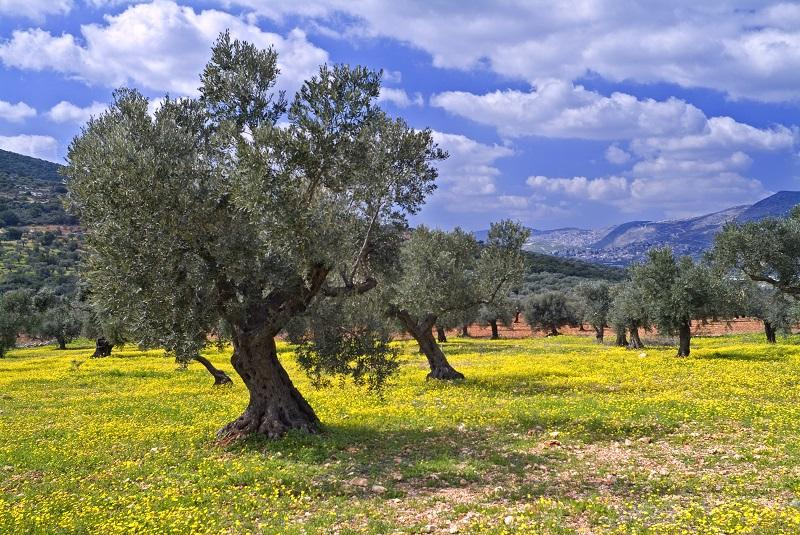 Traveling Around Italy S Olive Oil Farms Italy Magazine